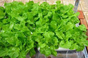Cách chăm sóc rau mùa mưa tươi xanh, không bị úng rễ