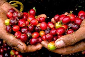 Giá cà phê hôm nay 29/11: Tăng trung bình 200 - 300 đồng/kg so với đầu tuần