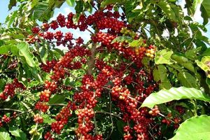 Giá cà phê hôm nay 30/11: Vẫn giữ mốc 33 triệu đồng/tấn, xuất hiện mối lo cho vụ mới