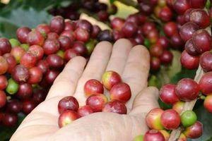 Giá cà phê hôm nay 30/11: Thêm lo ngại mới cho hạt cà phê