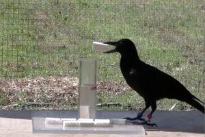 1001 thắc mắc: Quạ là loài chim thông minh nhưng thù dai nhất hành tinh?
