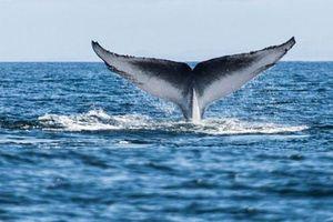 Điều ít biết về loài cá voi mạnh nhất thế giới