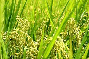 Hà Nội phát triển 200 vùng trồng lúa Japonica, đáp ứng tiêu chuẩn xuất khẩu