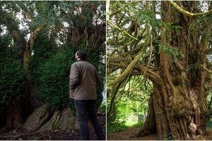 Cây đại thụ 'già đời' nhất nước Anh 'chuyển giới' sau 3.000 năm