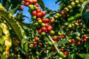 Dự báo: Cà phê và bông trên thế giới có thể sẽ tăng trở lại trong phiên hôm nay từ các mức hỗ trợ