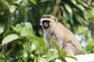 CLIP: Khỉ Vervet yêu thích cây sung - Đâu là lý do?