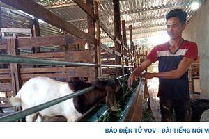 Thủ phủ hồ tiêu Chư Pưh 'hồi sinh' nhờ chuyển đổi cơ cấu cây trồng