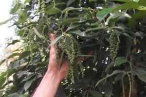 Giá tiêu hôm nay 4/12: Biến động nhẹ ở Gia Lai, Bà Rịa - Vũng Tàu, người trồng tiêu đang vừa mừng vừa tiếc