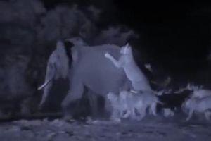 Voi rừng bị 30 con sư tử tập kích, tuyệt vọng khi không thể thoát thân