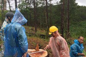 Lâm Đồng: Khởi tố đối tượng liên quan đến vụ triệt phá gần 30 cây thông
