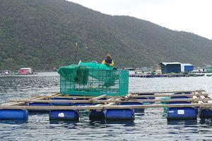 Hướng phát triển bền vững nghề nuôi tôm hùm ở Phú Yên