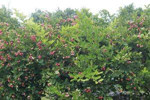 Mãn nhãn dàn sơ ri bonsai nặng trĩu quả của 'tướng cướp hoàn lương'