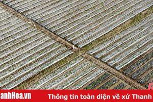 Nông dân Thanh Hóa phấn khởi vào mùa thu hoạch dưa chuột