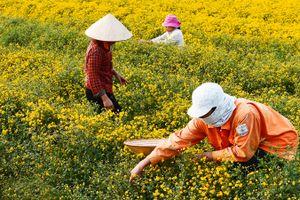 Mê mẩn với cánh đồng hoa cúc chi vàng rực rỡ