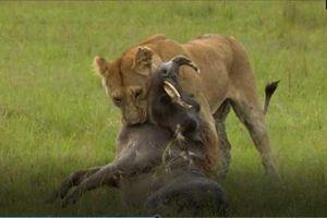 CLIP: Lợn bướu bỏ mạng dưới nanh vuốt của sư tử