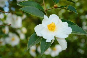 Bình Liêu mùa hoa lau, hoa sở