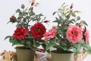 Kỹ thuật trồng cây hoa Hồng trong chậu cho hoa nở rực rỡ quanh năm