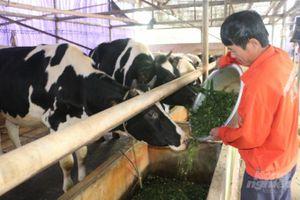 Những dòng sữa mát lành trên quê hương Kim Ngọc