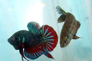 Loài cá kỳ lạ không 'chén thịt' mà lại thuần hóa con mồi