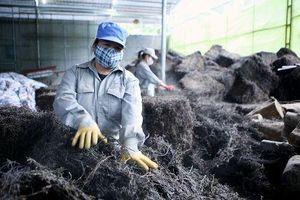 Xuất khẩu thạch đen sang Trung Quốc: Không hề dễ dàng