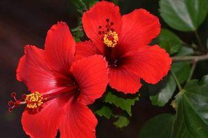 Vì sao người Malaysia chọn hoa dâm bụt làm quốc hoa?