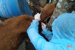 Tìm ra nguyên nhân gây bệnh lạ trên trâu bò ở Hà Tĩnh