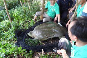 Đã xác định giới tính rùa Hoàn Kiếm ở hồ Đồng Mô