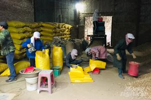 Vùng cao Lục Khu trồng lạc thoát nghèo