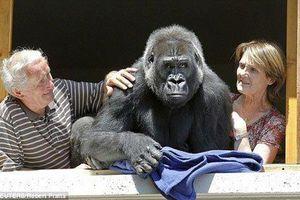 Nhận khỉ đột làm con nuôi