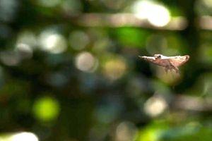 Cận cảnh cú nhảy 30m của loài thằn lằn tự bay duy nhất trên thế giới