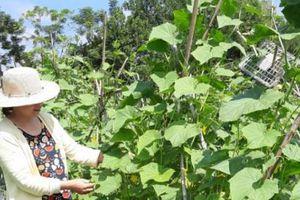 Tuyên Quang thắng lớn từ trồng dưa chuột