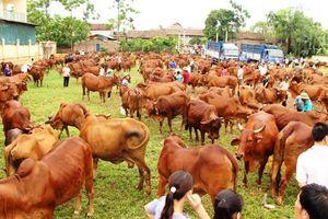 Phát triển chăn nuôi bò tập trung