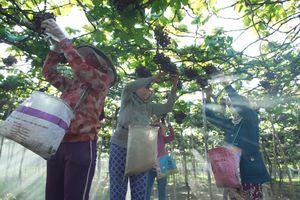 Nho Ninh Thuận: Những 'hạt ngọc' vươn lên trong nắng gió