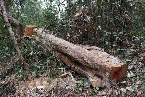 Điện Biên chỉ đạo kiểm tra phản ánh vùng lõi rừng đặc dụng Mường Phăng bị 'rút ruột'