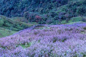Ngắm hoa Chi Pâu ở thiên đường mây Tà Chì Nhù