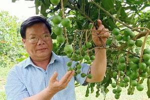 Cây mắc ca cho thu nhập ổn định trên đất Thạch Thành