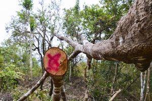 170 cây gỗ bị chặt trong rừng đặc dụng: 'Chặt đêm nên...'