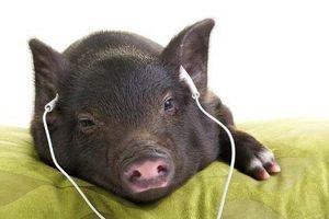 Thị trường 23/12: Sự thật rau mầm đá siêu sạch, lợn nghe nhạc Pháp ngắm hoa hồng
