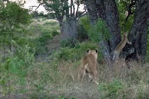 Sư tử leo cây, báo nhận trái đắng liên hoàn