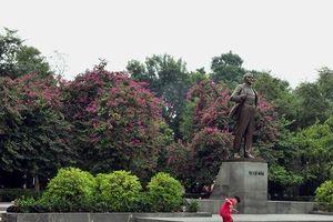 Hà Nội: Hoa ban nở đỏ rực quanh tượng đài Lê Nin