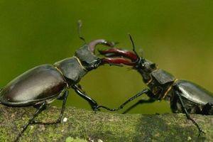 CLIP: Bọ cánh cứng sừng hươu đực hất văng 'bạn tình' sau khi giao phối