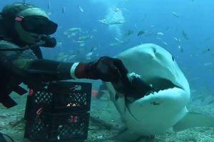 Thót tim xem thợ lặn tay không đút thức ăn cho cá mập