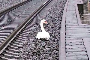 Hơn 20 chuyến tàu bị hoãn vì một con thiên nga 'đau buồn'