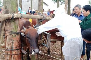 Tiêm thí điểm vaccine viêm da nổi cục trên gia súc