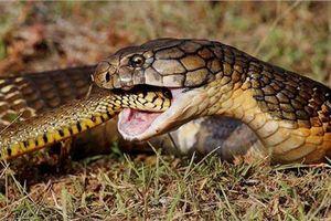 Bí ẩn 'vương quốc rắn' - nơi những con rắn hổ mang chúa 30kg sinh sống