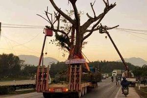 Hà Tĩnh: Xôn xao việc cắt điện cho cây 'khủng' đi qua đường