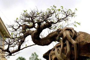 Ngắm cây sanh thế lạ ký vào phiến đá 'khủng'