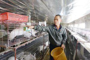 Đông Triều: Khôi phục chăn nuôi sau dịch tả lợn châu Phi