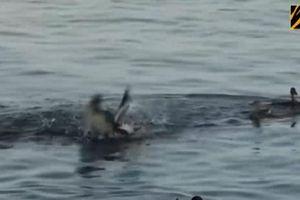 Vịt mẹ tới tấp ra đòn 'chí mạng' với hải âu để bảo vệ đàn con