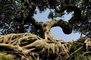 Ngắm cây sanh cổ thế hình kim quy cõng rồng được 'chào giá' tiền tỷ